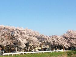 土手桜.jpg