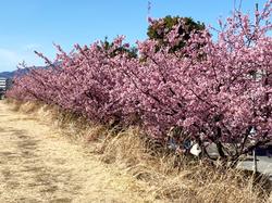 桜1.png