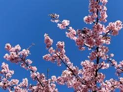 桜3.png